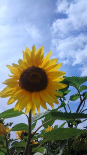 sunflower in a home garden