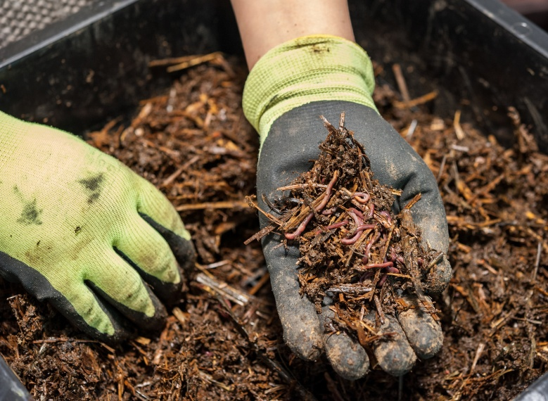 Hand with gloves holding several worms mixed with soil over a black plastic wormery