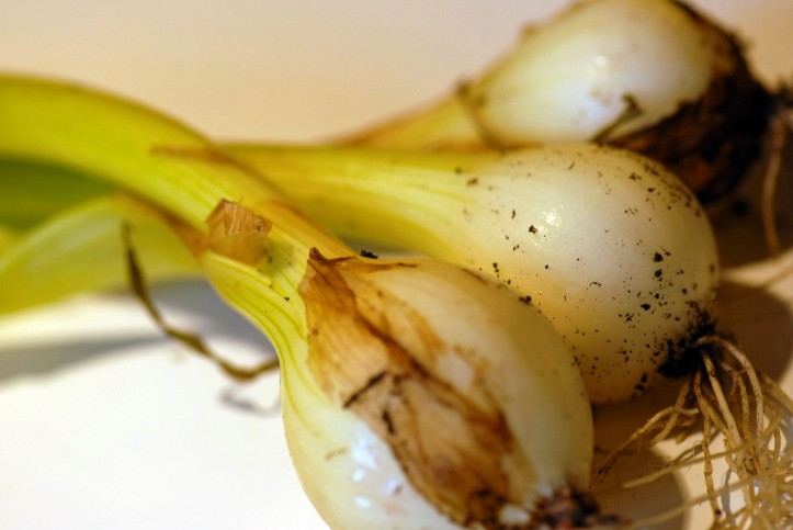 harvested small fresh onions without protective layer before cure