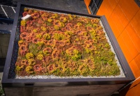 extensive green roof in a flat roof with sedum or stonecrops
