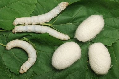 Silkworm and cocoons