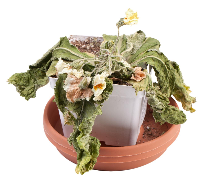 Dead Primrose Flower in Pot on a white background