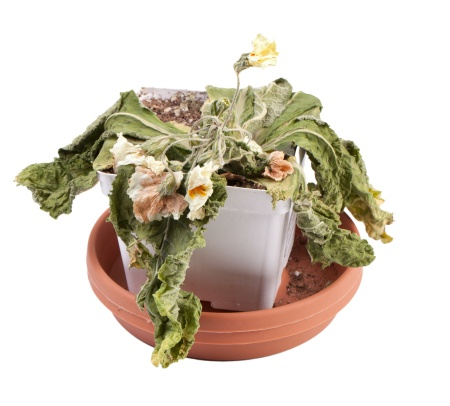 Dead Primrose Flower in Pot on a white background