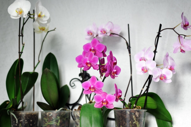 white and pink orchids planted in clear transparent pots in a white background