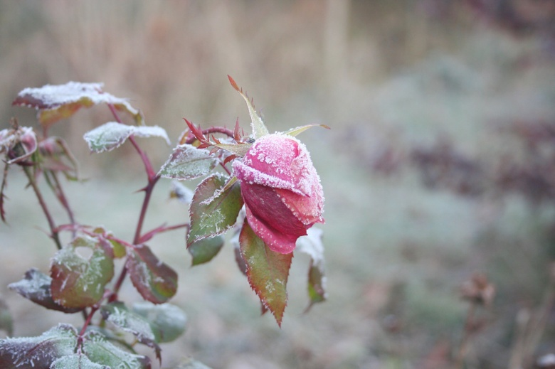 Frozen rose under winter snow garden